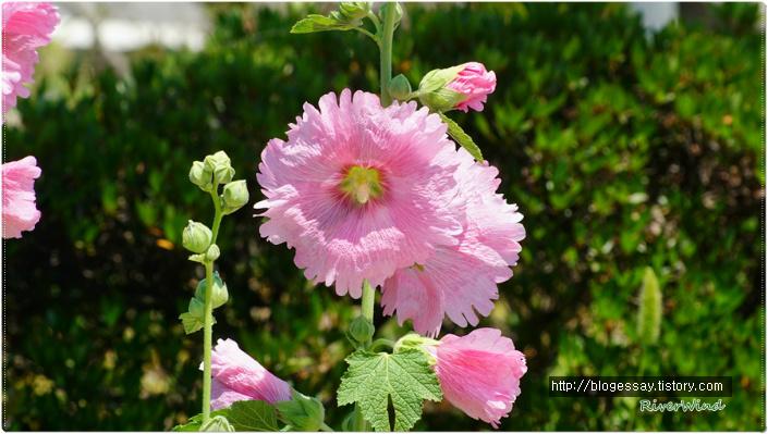 분홍접시꽃
