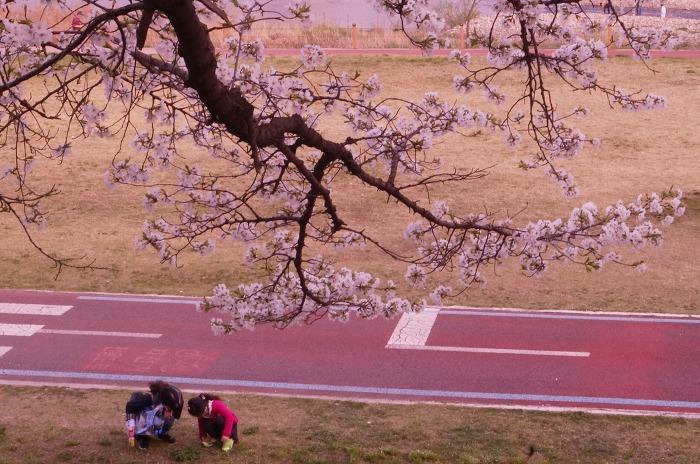 갑천변 벚꽃