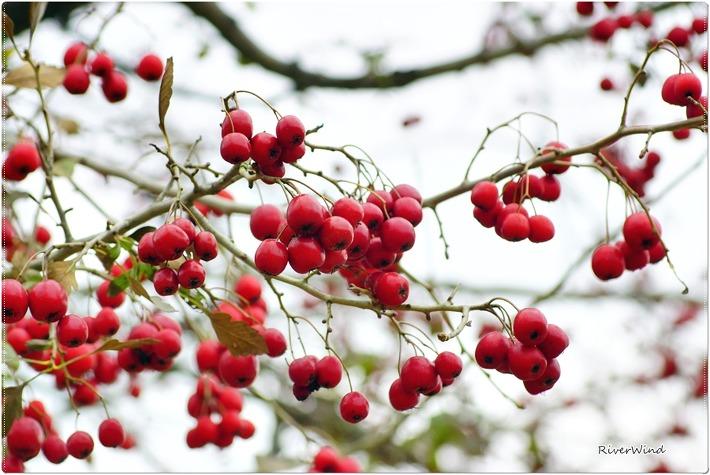 산사(아가위)나무 열매
