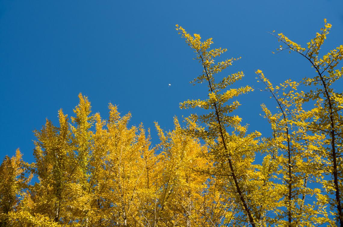 남평은행나무