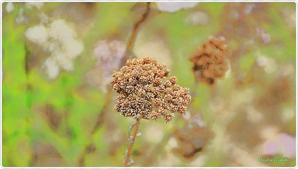 서양톱풀 톱풀파스텔