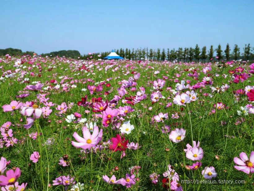 예쁜 코스모스 꽃밭