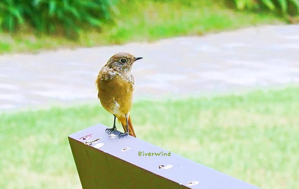 털 갈이 하는 예쁜 아기 산새 Molting baby mountain bird